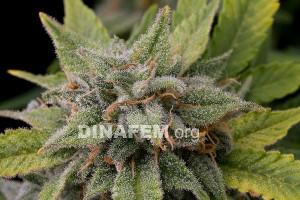 White Widow - 3 autoflower semienka Dinafem
