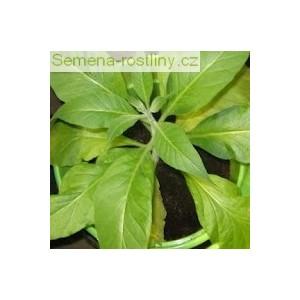 Tabak Walkers Broad leaf (rastlina: Nicotiana tabacum)