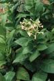 Tabak Scherazi (rastlina: Nicotiana tabacum) cca 25 semien