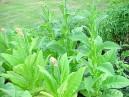 Tabak Shirey (rastlina: Nicotiana tabacum) cca 25 semien