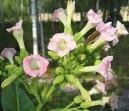 Tabak Green Wood (rastlina: Nicotiana tabacum) cca 25 semien