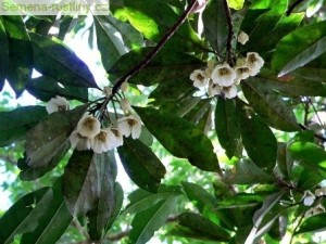 Mastnoplod (rostlina: Elaeocarpus lanceifolius) 4 semena