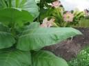 Tabak VA 509 Virginia Burley (rastlina: Nicotiana tabacum) cca 25 semien