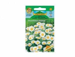Kopretina bílá (Chrysanthemum paludosum)